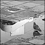 Pigeons in Puddles No. 7